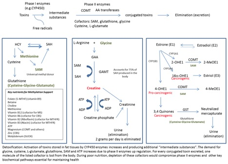 Fig.1 Interrelation between Phase II Enzymes, Methylation, Creatine and Estrogen Pathways