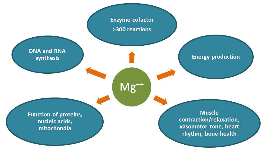 Figure depicting critical actions of magnesium in the body.