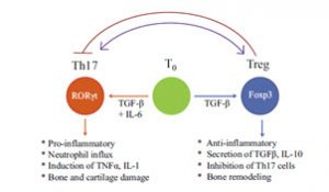 Image showing the altered balance between the pathogenic T helper 17 (Th17) and protective regulatory T (Treg) cells.