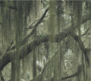 Feature Image: The Antioxidant Benefits of Spanish Moss