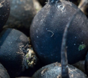Feature Image: Spanish Black Radish: Nutrient and Phytonutrient Profile