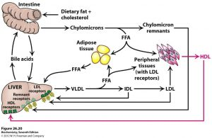 Figure illustrating lipoprotein synthesis and metabolism.