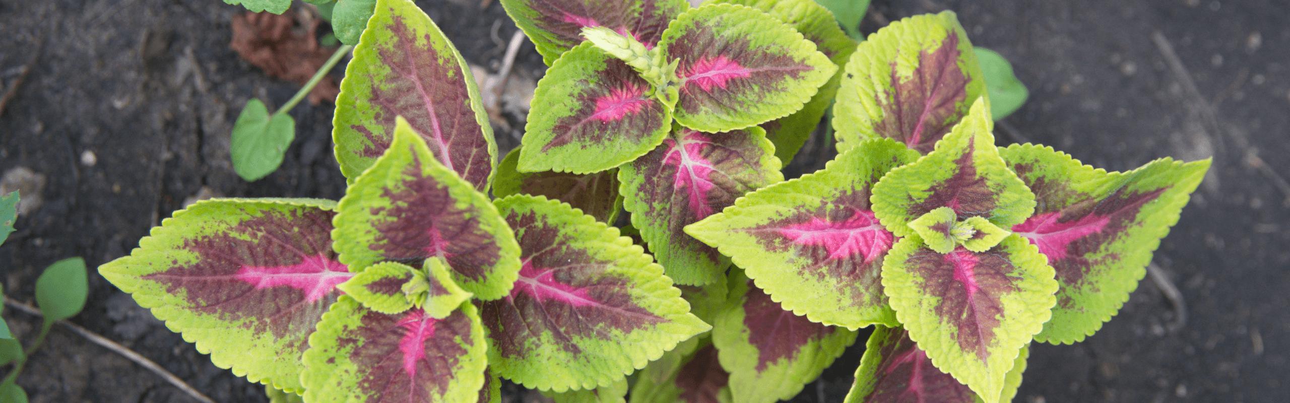 herbs for heart health - coleus
